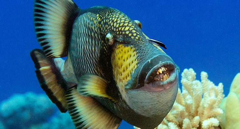 Голубоперый балистод: опасная рыба с жуткими зубами и агрессивным поведением