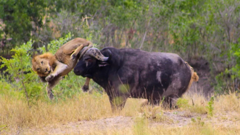 Африканский буйвол: Недооценённый африканский зверь, который крайне опасен