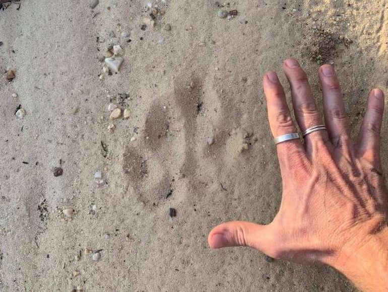 В австралийском заповеднике нашли отпечаток лапы огромной кошки