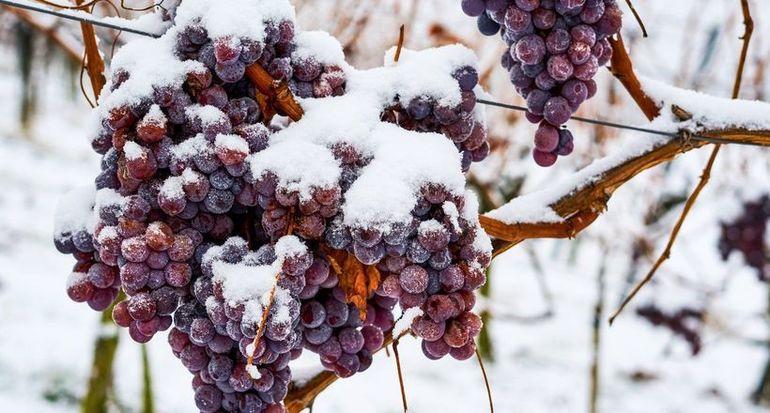 Кризис ледяных вин: почему немецкие виноделы не рады мягкой зиме и потеплению