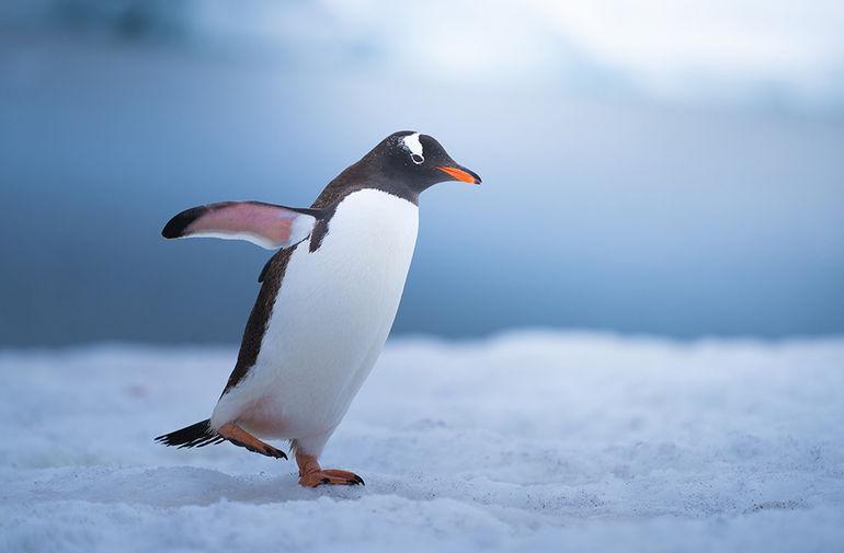 Антарктические пингвины: самые обаятельные и привлекательные