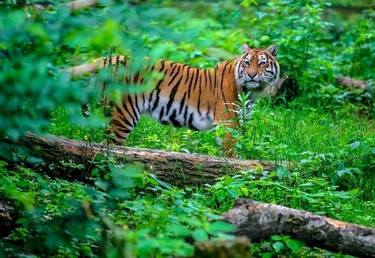 Вымирающий вид тигров триумфально возвращается в Индию
