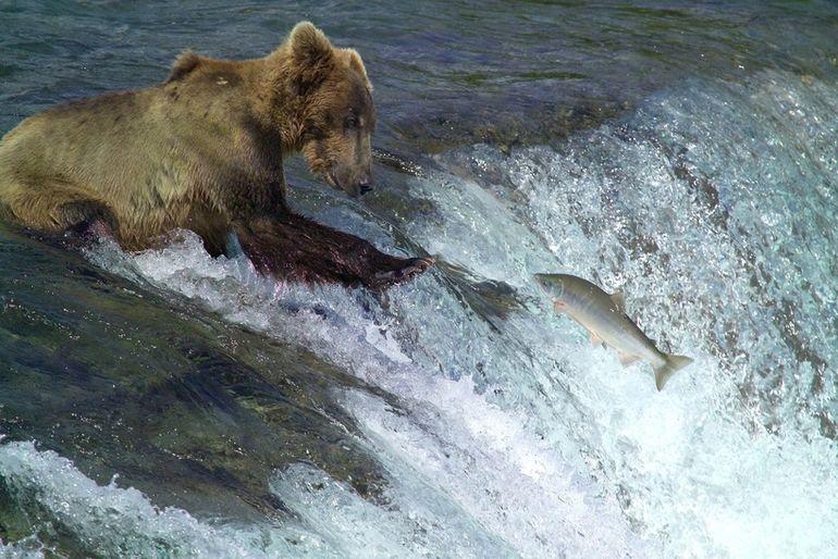 Почему и без того толстые медведи на Аляске продолжают набирать вес