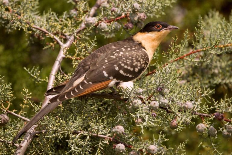 Птица кукушка: больше, чем просто аферист