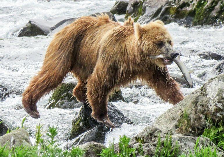 Медведь - хозяин Камчатки. Вот он какой