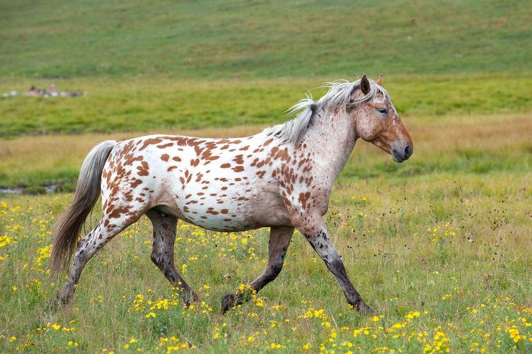 Лошади чубарой масти: кто ещё может поспорить с их красотой