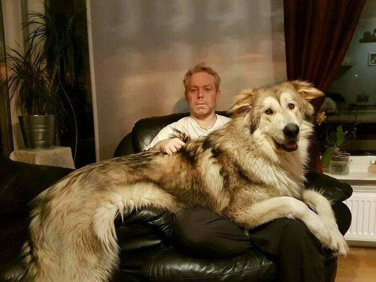 17 собак, которые не понимают, насколько они большие