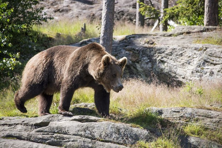 Самый опасный хищник карельских лесов