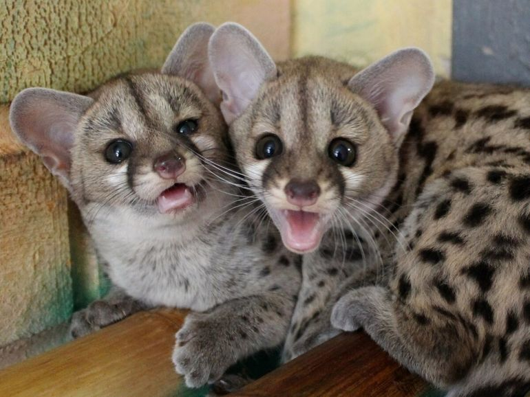 Генета: Раньше она заменяла людям кошек, но сейчас про неё все забыли. Перед вами почти 100% альтернатива коту!
