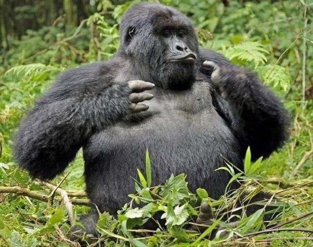 Животные-пьяницы: шестерка лидеров чтобы, этого, которые, который, несколько, таких, Правда, только, медведи, очень, некоторые, машины, много, горилл, сурков, собаки, гориллы, могут, просто, человек
