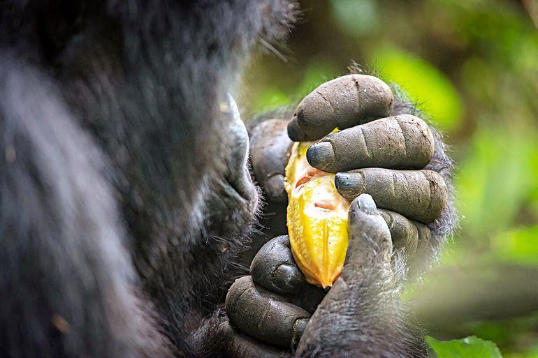 Горилла: 6 интересных фактов из жизни крупнейших обезьян