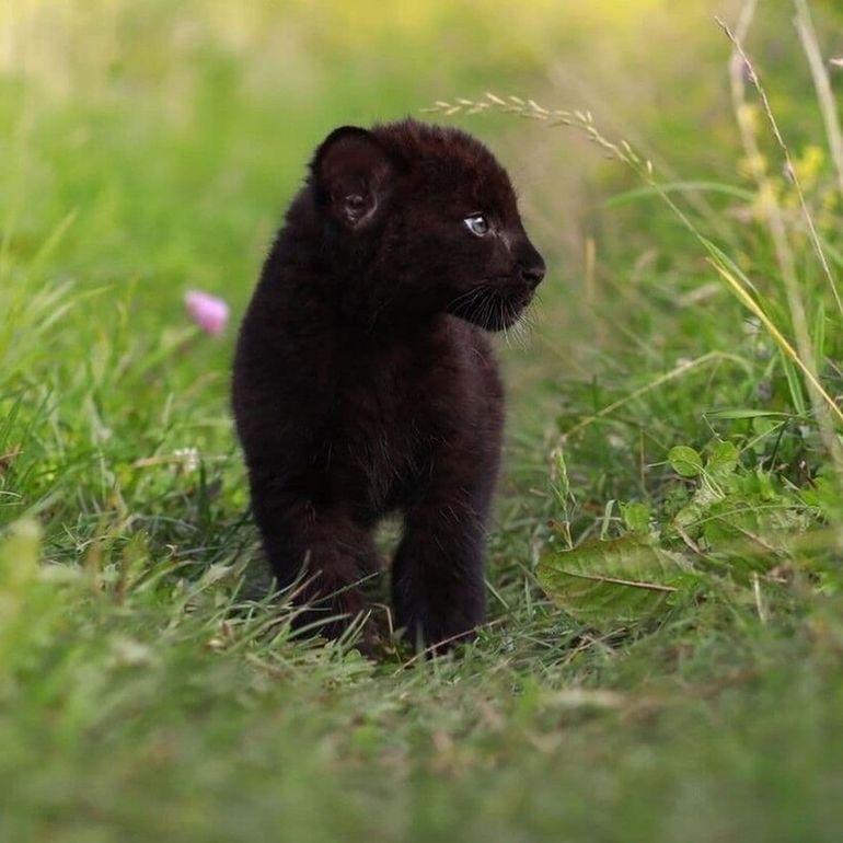 Когда пантера становится домашней кошкой: 19 фото Луны, которая живет в доме сибирячки